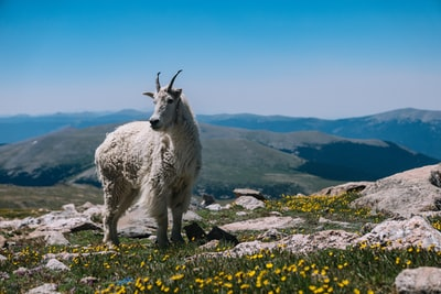 A goat's story: The story of a humble goat