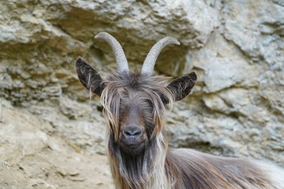 Ottawa police to investigate 'harassment' allegations in goat-related case