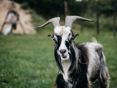 Goat's gestation period halved due to goat deaths